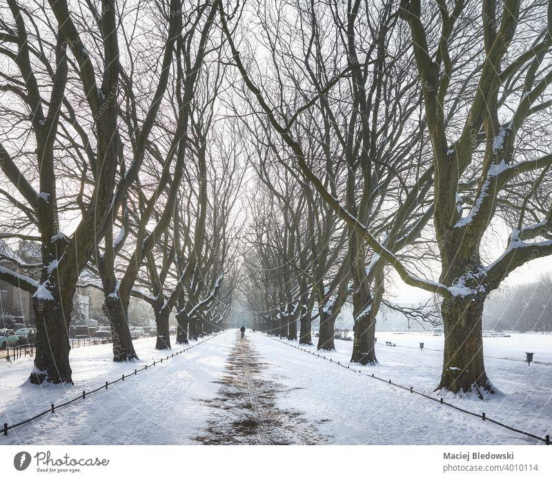 Plane trees alley in Jan Kasprowicz Park in winter, Szczecin, Poland. park Jasne Blonia plane tree city Stettin snow boulevard Europe outdoors cold street