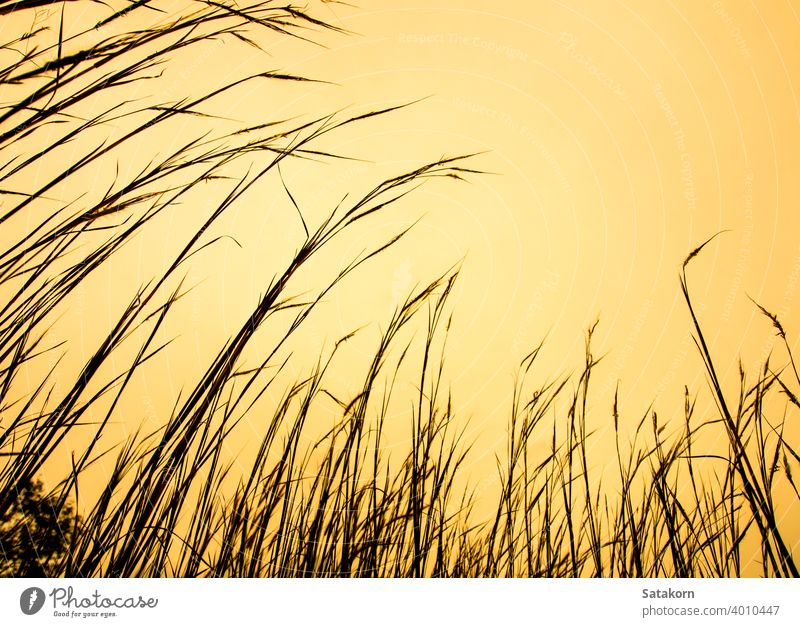 Dried stalk of grass and clear evening sky sunset nature field summer plant landscape beautiful yellow light flower outdoor sunlight silhouette background