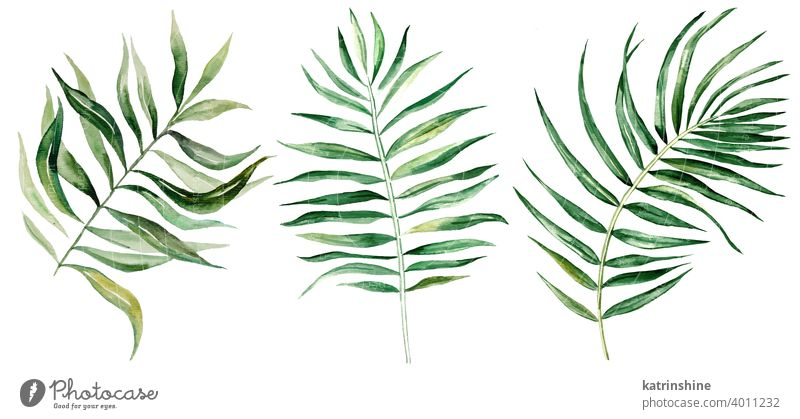 Watercolor palm tropical leaves illustration watercolor Drawing green jungle paper Botanical Leaf exotic Hand drawn Ornament Plant Foliage Paint Isolated Garden