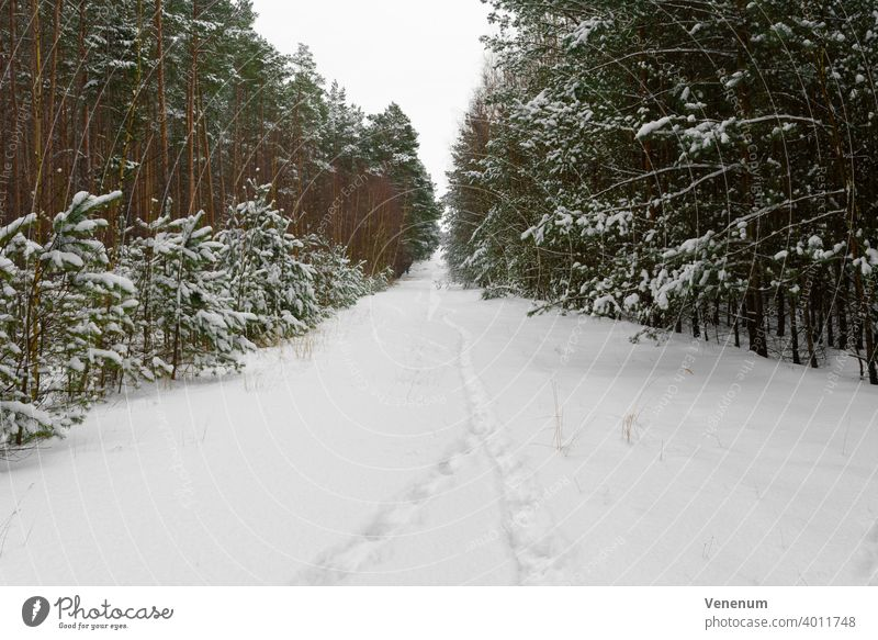 Forest trail in Germany in winter with a lot of snow,Traces of people in the snow Forest path forest woods tree trees grass branch branches nature lumbering