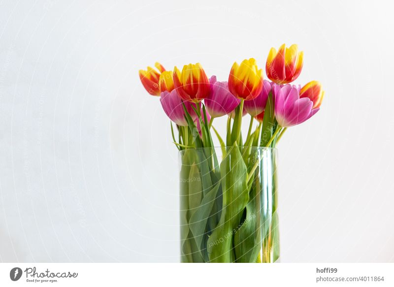 Tulips in vase in front of white wall bouquet of tulips Tulip blossom Blossom Bouquet Blossoming Spring Plant Joy Anticipation Spring fever Spring flower