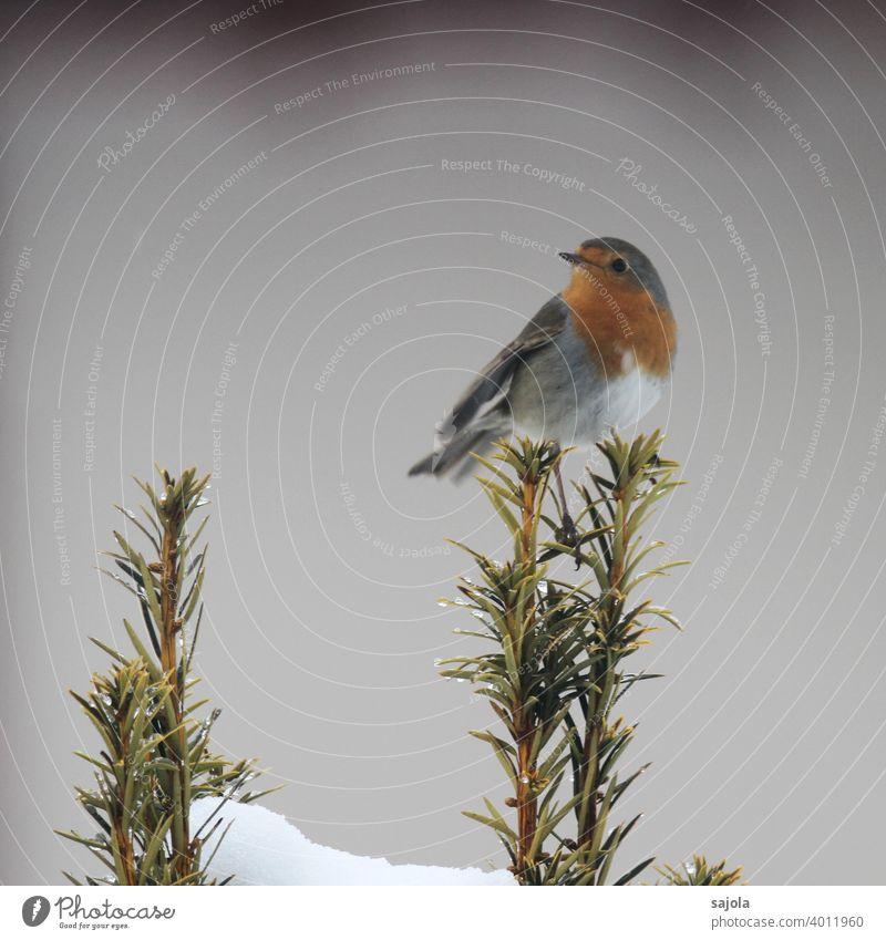 Robin - Redbreast Bird Animal fauna Winter Robin redbreast chestnut-bellied brisket Sit look