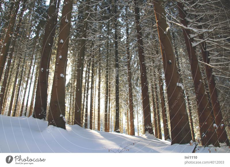 Sun rays and snow in the spruce forest Snow snow-covered Winter beautiful weather sunshine trees Spruce forest spruces Sunbeam Cold winter joy Visual spectacle
