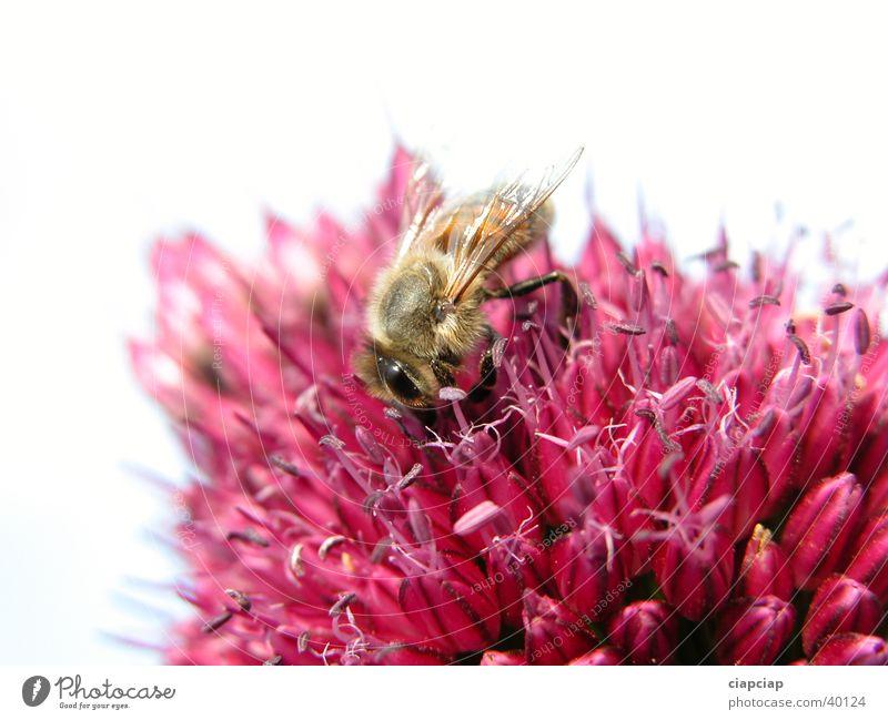 bee Bee Flower Plant Sprinkle Nature