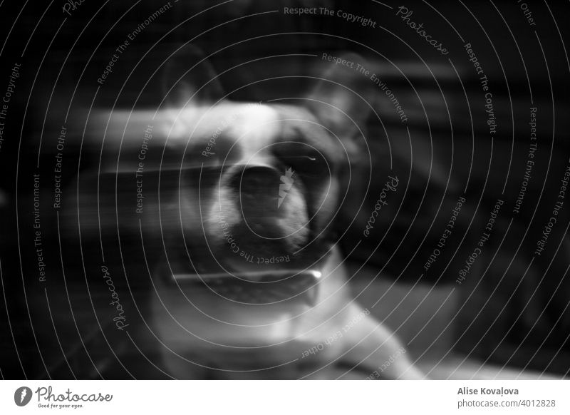 surreal black and white portrait of a french bulldog portrait of a dog animals black and white animal black and white animal photography pet pets mammal glitch