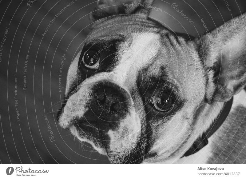 french bulldog looking at the camera in black and white dog face animal portrait Animal Pet Cute watching watch me staring