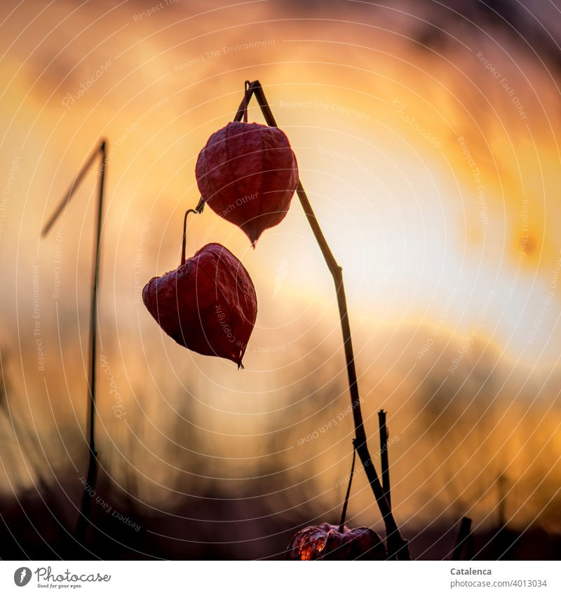 Fruits of physalis in the evening Nature flora Plant Solanaceae Chinese lantern flower Evening Twilight Sky Beautiful weather evening light Orange Red Black