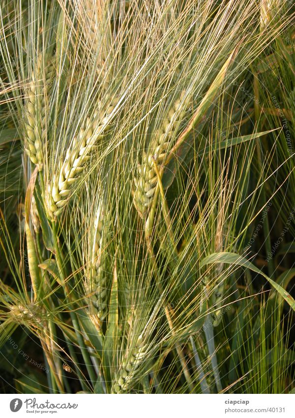 Flower Plant Summer Harvest Wheat