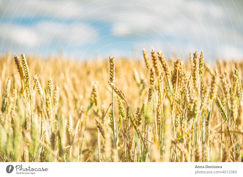 Field of golden wheat rye grain harvest field landscape cereal farm agriculture yellow summer plant growth sky nature season sunny cloud scene bright farmland