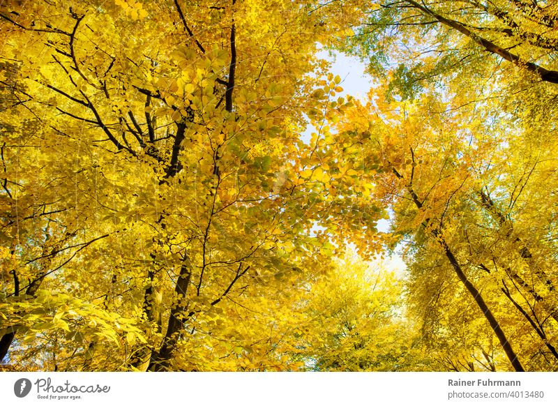 The golden autumn in the treetops of old beeches Autumn Autumn leaves trees Treetops Forest Sunlight Automn wood Autumnal colours Nature Deserted Environment