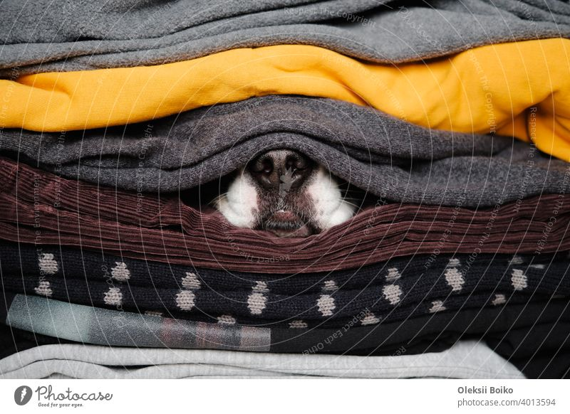 Dog's nose hiding between textures of sweaters and warm clothes. Concept of winter season and pets during cold, hibernation animals body parts close-up view