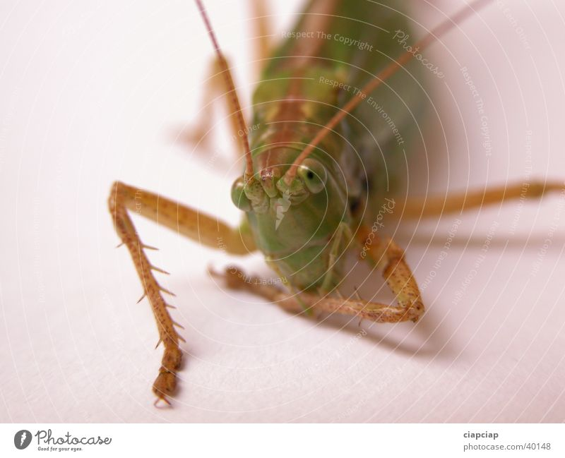 grasshopper Insect Locust