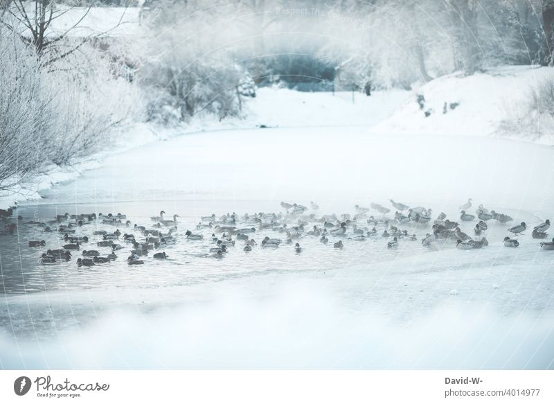Ducks on a frozen lake in winter Winter Ice age Lake ducks animals Snow chill Frost icily Water Winter mood Winter's day Cold December