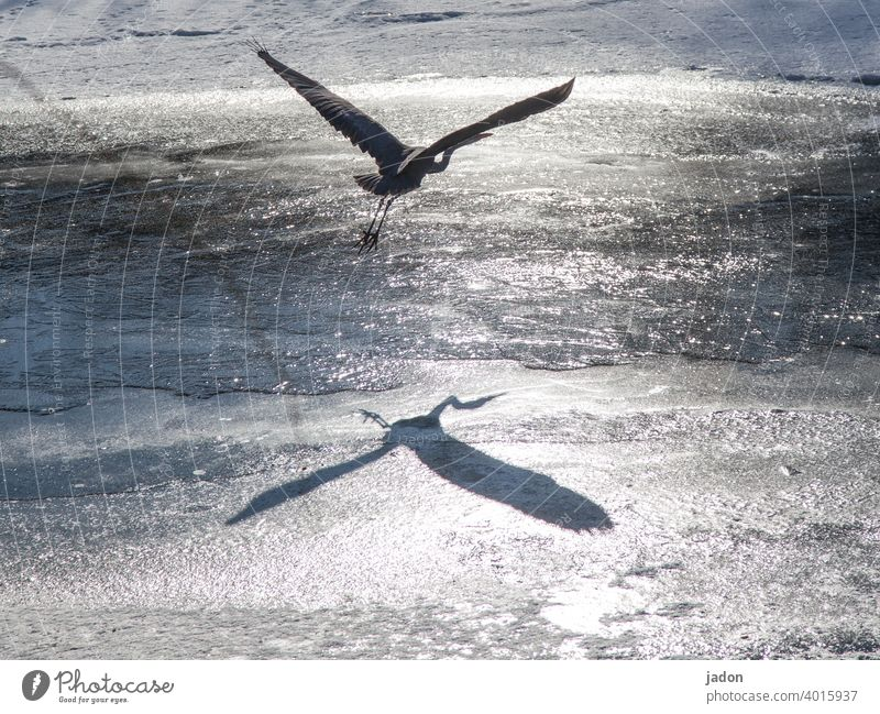 double-breasted. Heron Light Shadow Bird 1 Deserted Grey heron Wild animal Nature Animal reflection Ice Environment Animal portrait Full-length naturally Flying