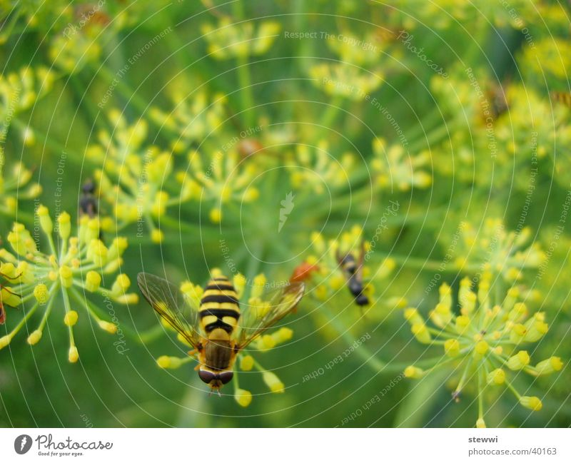 sand wasp Wasps Bee Flower Yellow Green Accumulation Stamen Transport Nectar hover wasp