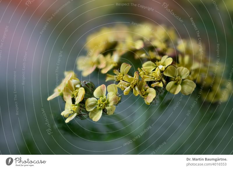 Inflorescences of the common yarrow, Achillea millefolium with yellow ray florets Yarrow Plant inflorescence inflorescences Tongue blossoms Yellow Garden form
