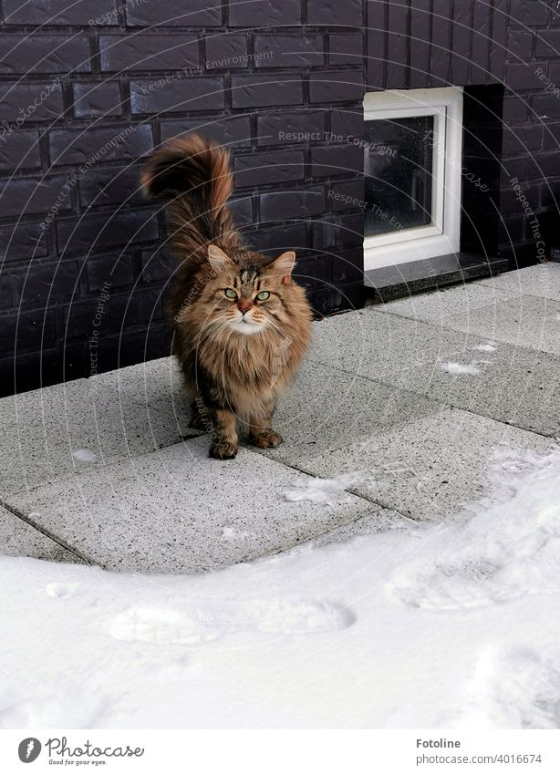 Bah snow the Maine Coon cat thinks to herself and asks to be carried back inside so she doesn't step on a snowflake. maine coon cat Cat Pelt Fluffy feline