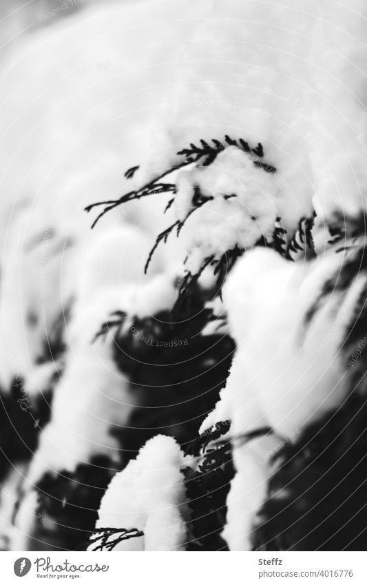 Thuja hedge in the snow thuja thuja jacket Hedge Snow Snow layer February snow-covered snow cap snowy winter cold onset of winter Winter's day Seasons cold snap
