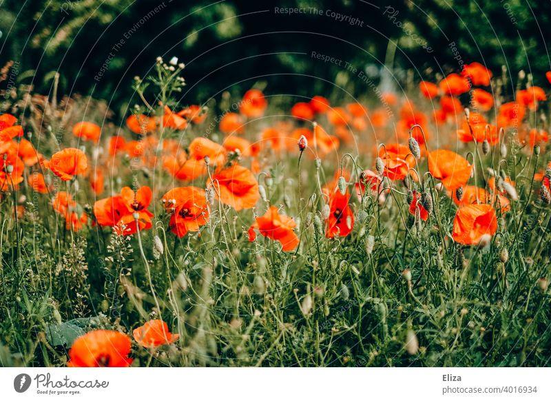 Flowering poppy field poppies Poppy flowers Field Poppy Field Meadow Blossoming Red Spring Summer Nature Poppy blossom Wild Flower meadow Flower field Plant