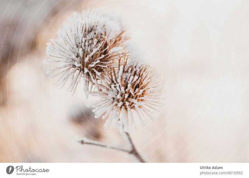 Hoarfrost on faded thistles hoar frost Winter Snow Faded Grief mourning card Ice Cold Thistle Frost Nature Plant Exterior shot Colour photo Deserted White