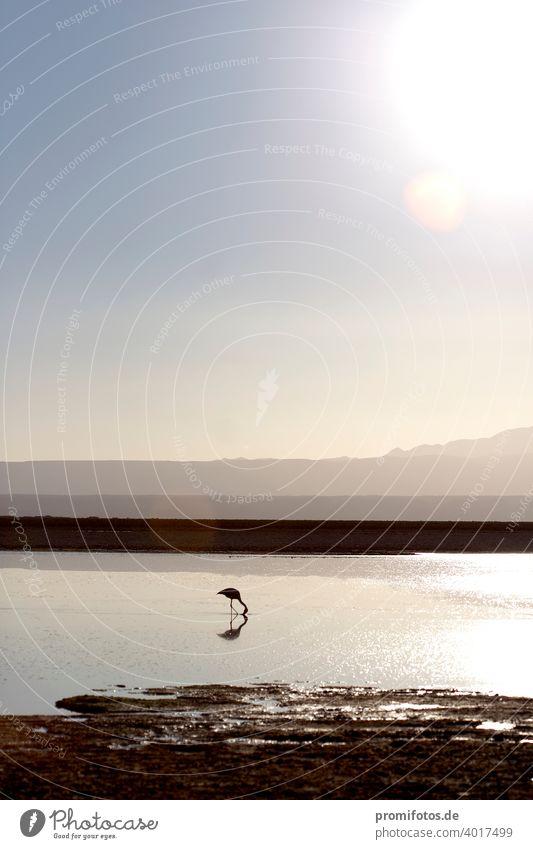 A flamingo in the Atacama Desert in Chile, South America. Photo: Alexander Hauk Animal animals Flamingo atacam atacama desert Americas Exterior shot Deserted