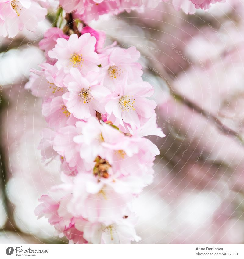 Close up of Pink Blossom Cherry Tree Branch, Sakura Flowers sakura blossom cherry tree spring background flower pink nature white garden season blooming