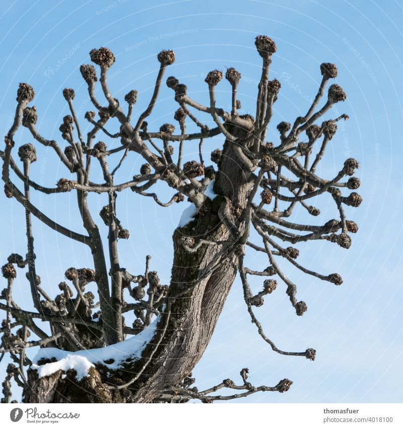 pruned tree with ball ends in winter Tree Sky Blue Clouds Winter pruning Tree scars Snow Branch