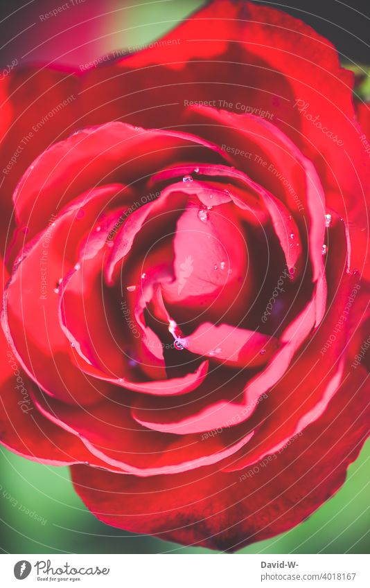 Close up of a red rose pink Blossom Red fragrances Declaration of love Mother's Day Valentine's Day With love Love Romance