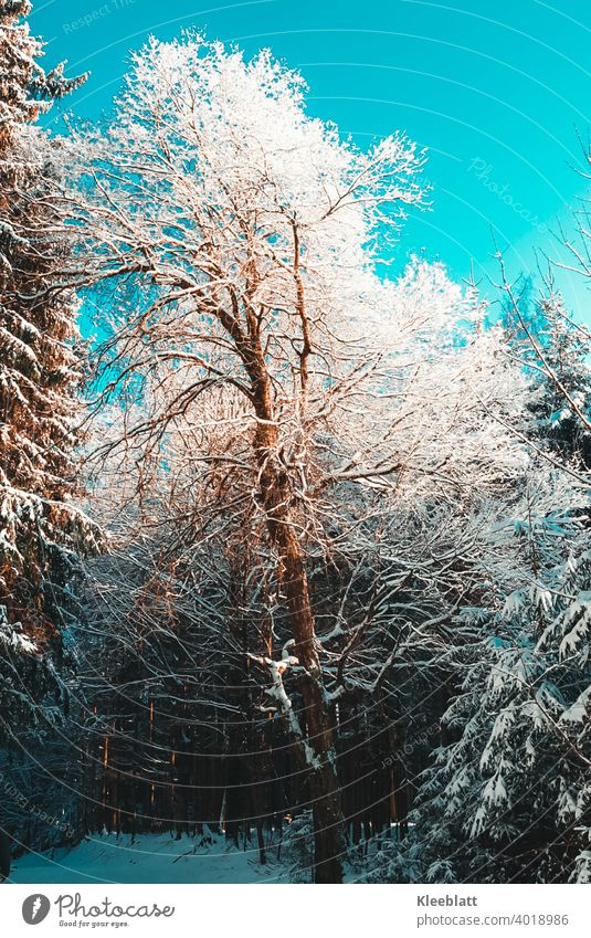 Iced tree in the forest in bright sunshine - winter idyll - Forest iced tree spiritual trees Snow Winter Sun Frost Tree Cold Nature White Exterior shot Deserted