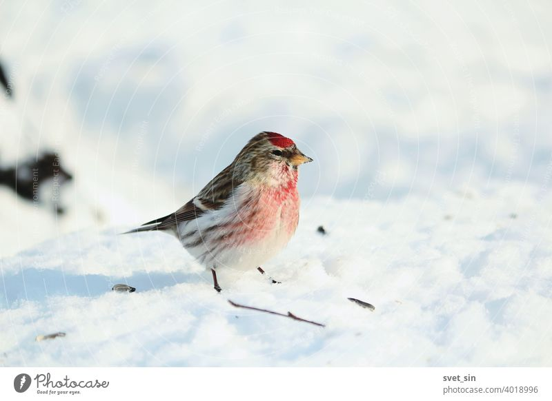Acanthis flammea or Common Redpoll or Lesser Red-poll or Little Snowbird. A small bird Redpoll with a red tuft and breast sits in the blue snow on a sunny winter day.