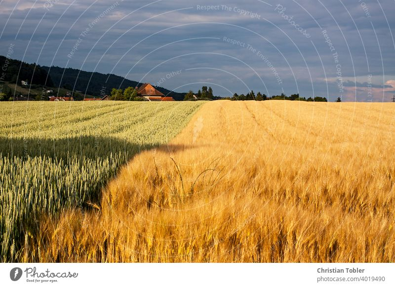 Grain field with different varieties Evening acre spike extension Field cornflowers Tracks Wheat Nature Sky Agriculture Cornfield Summer Barley Wheatfield