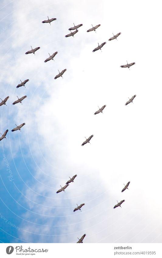 cranes Flying Formation Spring heralds of spring Sky Crane Holiday season shoofy Flock Bird Flock of birds cloud Migratory bird sky cloud flight picture Nature