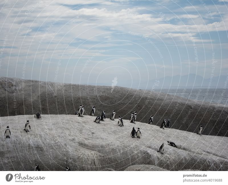 Group of penguins near Cape Town in South Africa. Photo: Alexander Hauk Penguins Animal animals Web-footed birds Sky Clouds Exterior shot Landscape format Rock