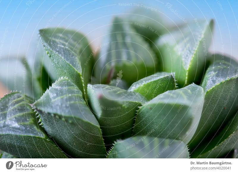 Haworthia magnifica from South Africa succulent variety acuminata near Gouritz river rosette