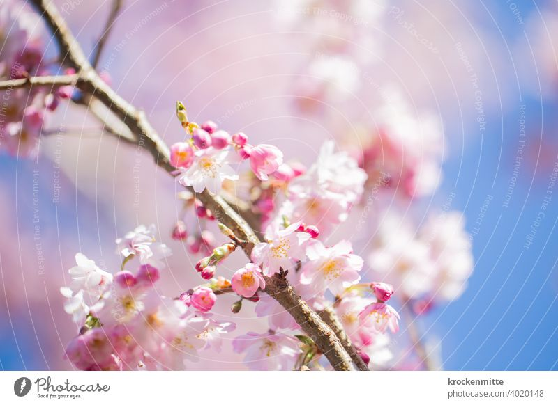Cherry blossoms against blue sky Cherry tree Tree Colour photo Exterior shot Spring fever Pink Day Deserted Fragrance Beautiful weather Environment Plant