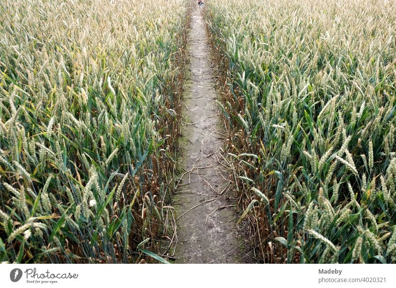 Trail through a grain field in summer between Oerlinghausen and Asemissen near Bielefeld in the Teutoburg Forest in East Westphalia-Lippe off path Field