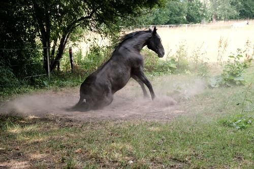 A riding horse rolls in the dust on its pasture in summer in Asemissen near Bielefeld in East Westphalia-Lippe Horse Willow tree Meadow Nature Summer Season