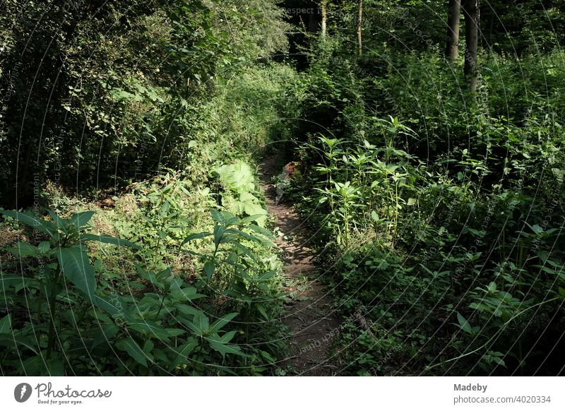 Trail through the undergrowth of the Teutoburg Forest in Oerlinghausen near Bielefeld in East Westphalia-Lippe Green Nature Landscape path off hiking trail
