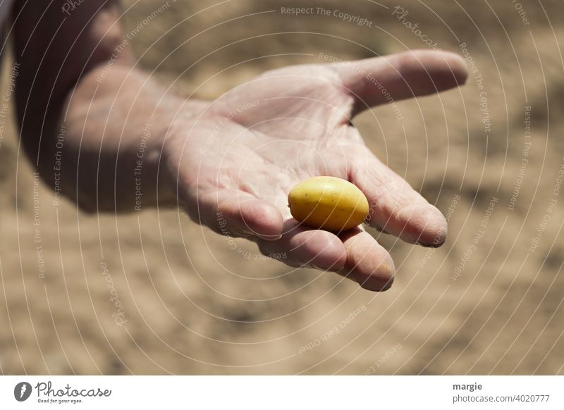 A big hand shows a small potato over a blurred potato field Hand Fingers Human being Man Agriculture Exterior shot Farmer Harvest Fresh Vegetable Organic Nature