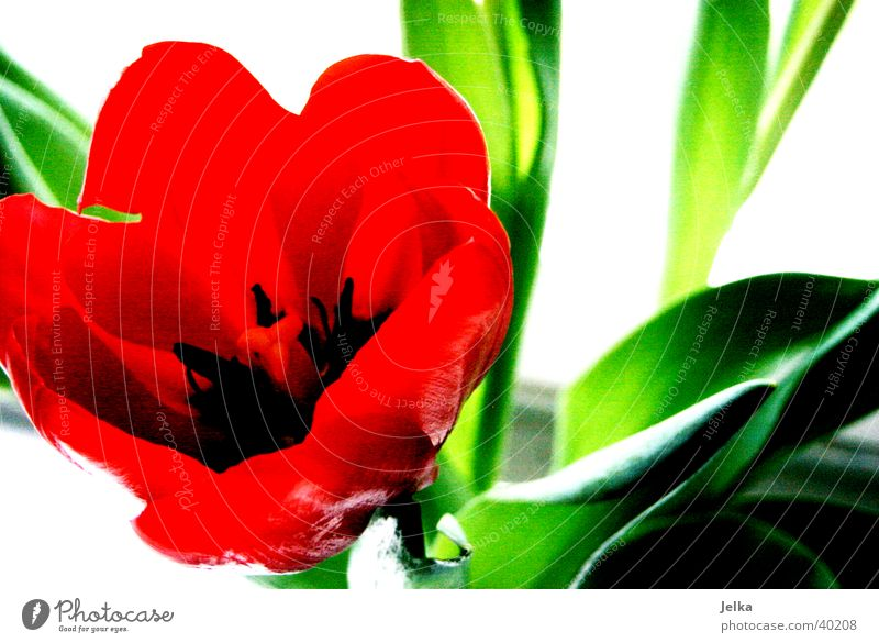 tulip Spring Flower Tulip Green Red Botany Colour photo Detail Deserted Copy Space right