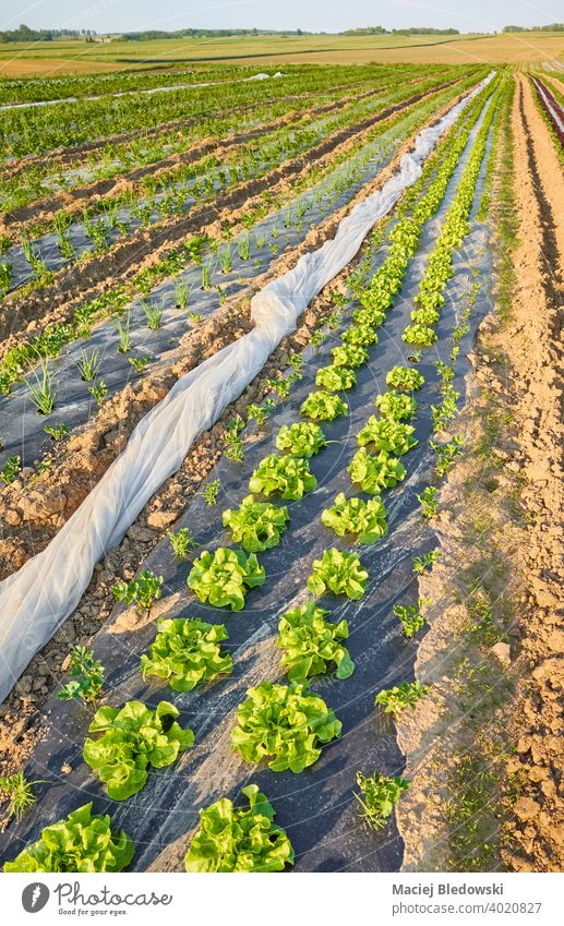 Organic vegetable farm field with lettuce patches covered with plastic mulch at sunset. organic eco agriculture food foil industry plasticulture produce green