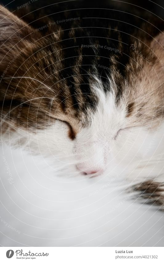 Cat dream or a cat white and mackerel sleeps, eyes closed and nose buried in soft fur Dreamily mackerelled enchanting Pelt daintily pretty Domestic cat Whisker