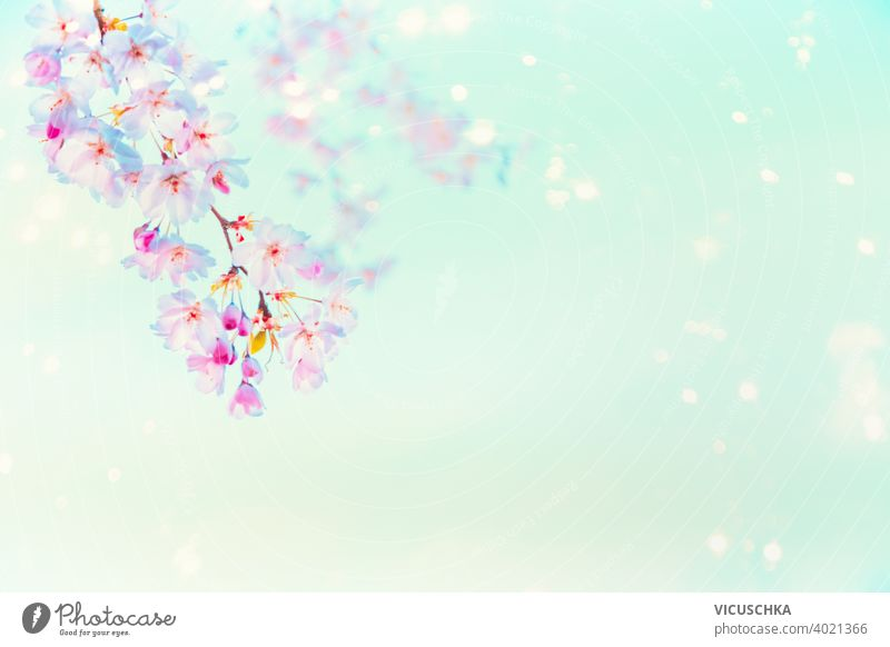 Springtime pink cherry blossom with sunshine bokeh at  turquoise blue background . Nature abstract beautiful beauty branch bud floral flower garden light nature