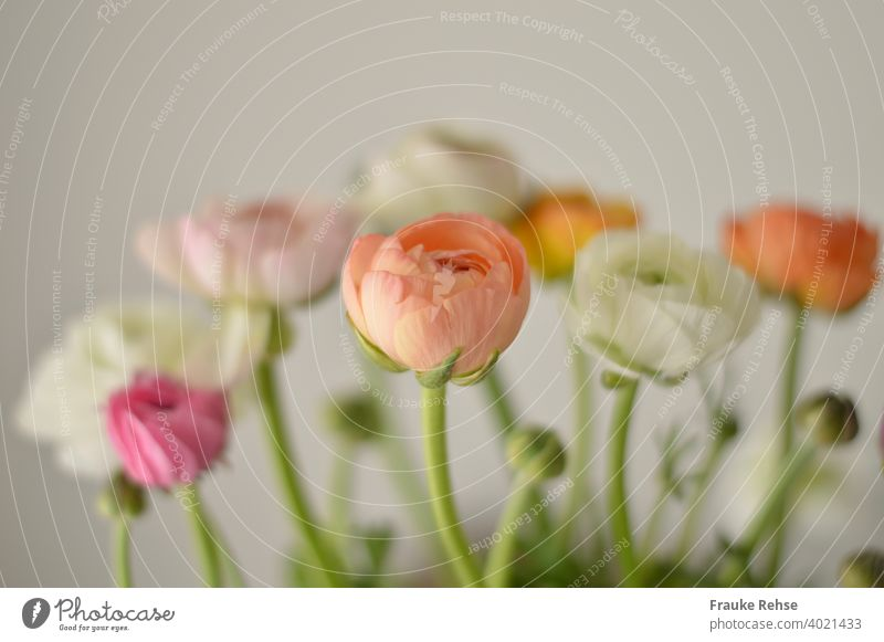 Ranunculus flowers and buds in apricot, white, pink and pink, with only the foremost flower (apricot) in focus, everything else is blurred. Background is white.