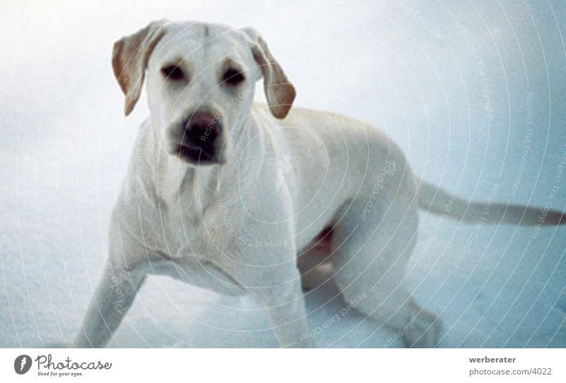 Animal Snow Dog