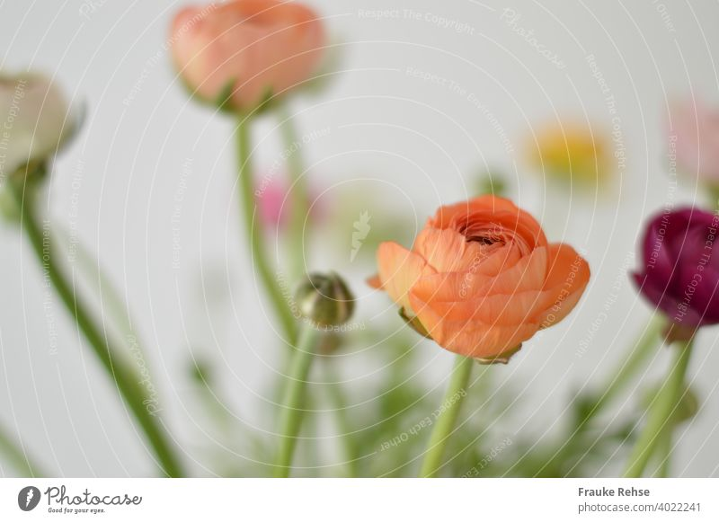 Ranunculus flowers and buds in orange, apricot and purple, with only the foremost flower (orange) in focus, everything else is blurred. Background is white.