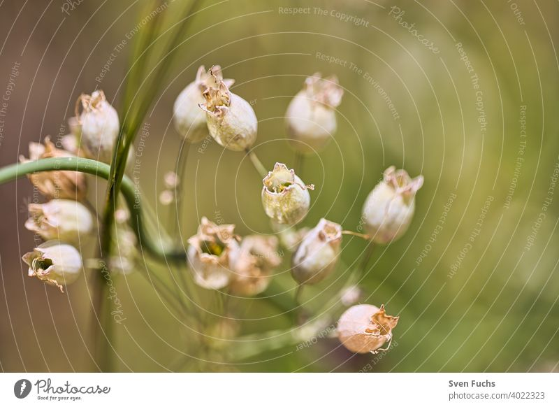These beautiful calyxes grow in the spring Flower Blossom Calyx flora Green Nature Spring come into bloom Plant White Tree Summer blossom macro Leaf
