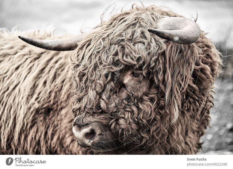 Face of a Galloway with shaggy hair Galloways Cattle breeding animal Agriculture Pelt horns Cow Animal cattle bull highland Bison buffalo Farm Mammal Hairy