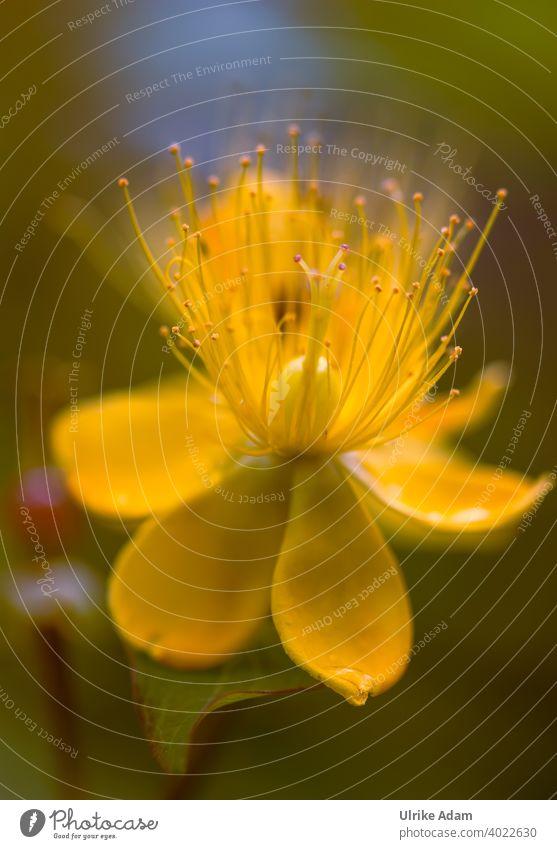 Yellow flower of the blood St. John's wort ( Hypericum androsaemum ) St. Johns Wort hypericum Blossoming Flower Summer Plant Nature Relaxation Harmonious