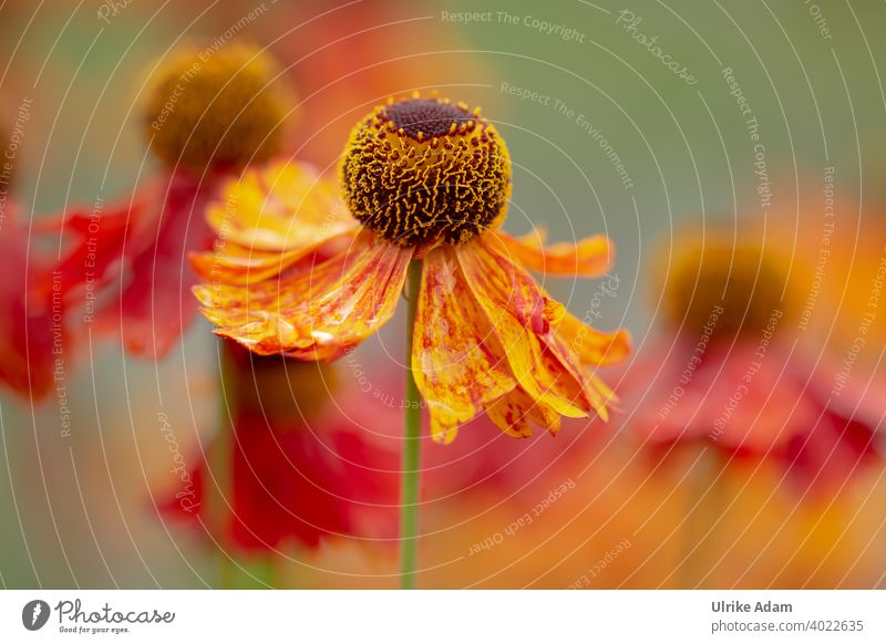 Summertime - Red flower of the sunflower ( Helenium ) Shallow depth of field blurriness Isolated Image Macro (Extreme close-up) Detail Close-up Exterior shot